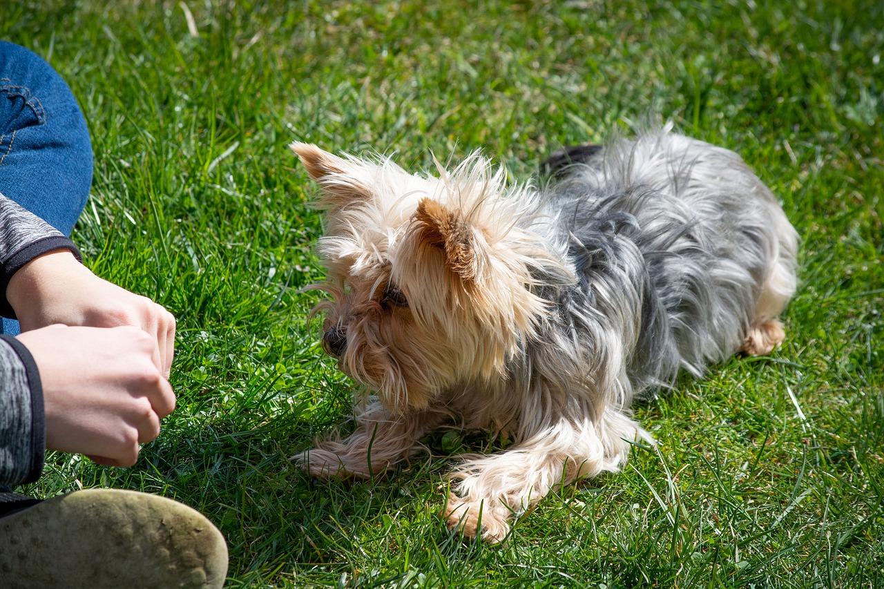 teaching-dog-down-command